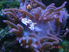 анемоновый краб