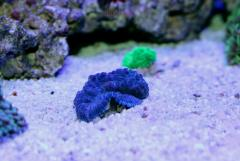 Rhodactis sp. Blue