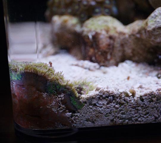 Ковровая актиния тапетум
