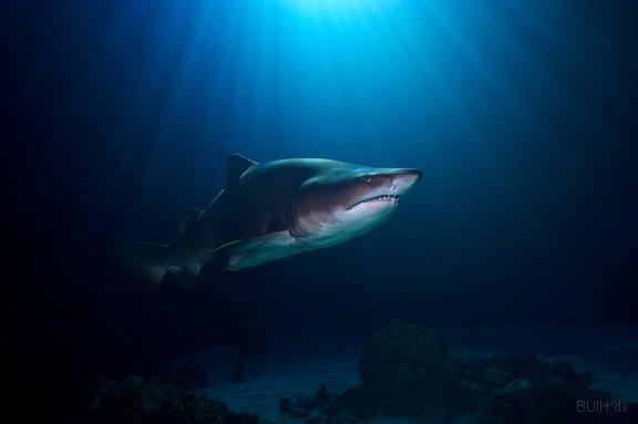 Sandtigerhai-gimp.jpg