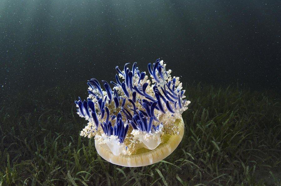 upside-down_jellyfish_1.jpg