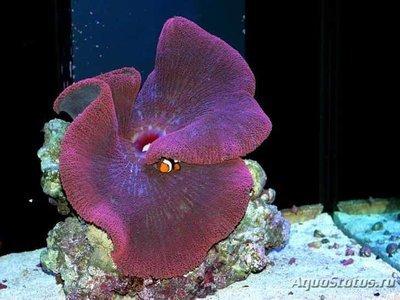 1461149751_stichodactyla-gigantea-1.jpg