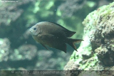 Acanthochromis polyacanthus.jpg