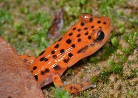 Eurycea_lucifuga_(Cave_Salamander)_(3679650501).jpg