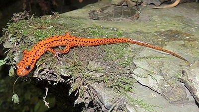Eurycea_lucifuga_in_natural_habitat.jpg