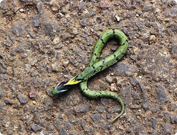 Macropisthodon_plumbicolor_juvenile2.jpg