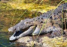 220px-American_Crocodile_in_Jamaica.jpg