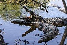 220px-Crocodylus_acutus_sunbathing.jpg