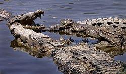 250px-Croc_conclave.jpg