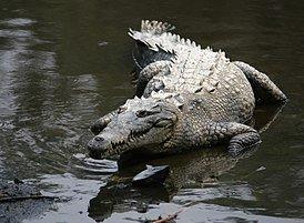 274px-Crocodylus_acutus_mexico_02.jpg