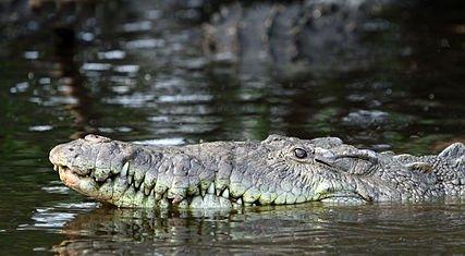 427px-Crocodylus_acutus_in_La_Manzanilla.jpg