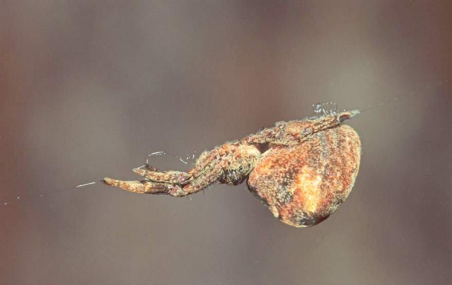 Hyptiotes-paradohus-004.jpg