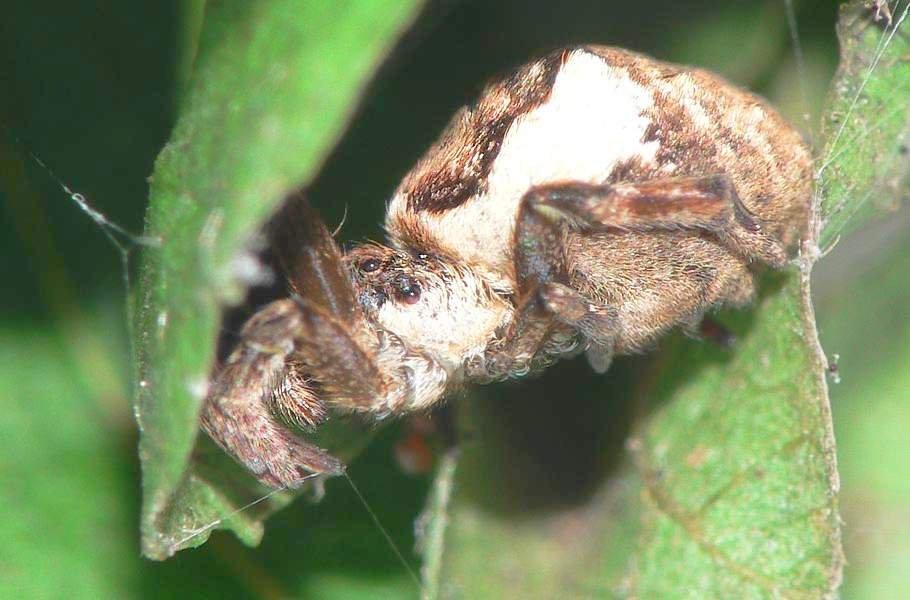 Hyptiotes-paradohus-005.jpg