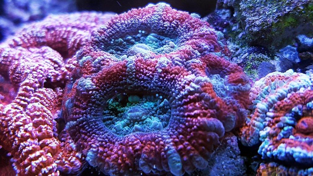 Acanthastrea lordhowensis_red_blue_2.jpg