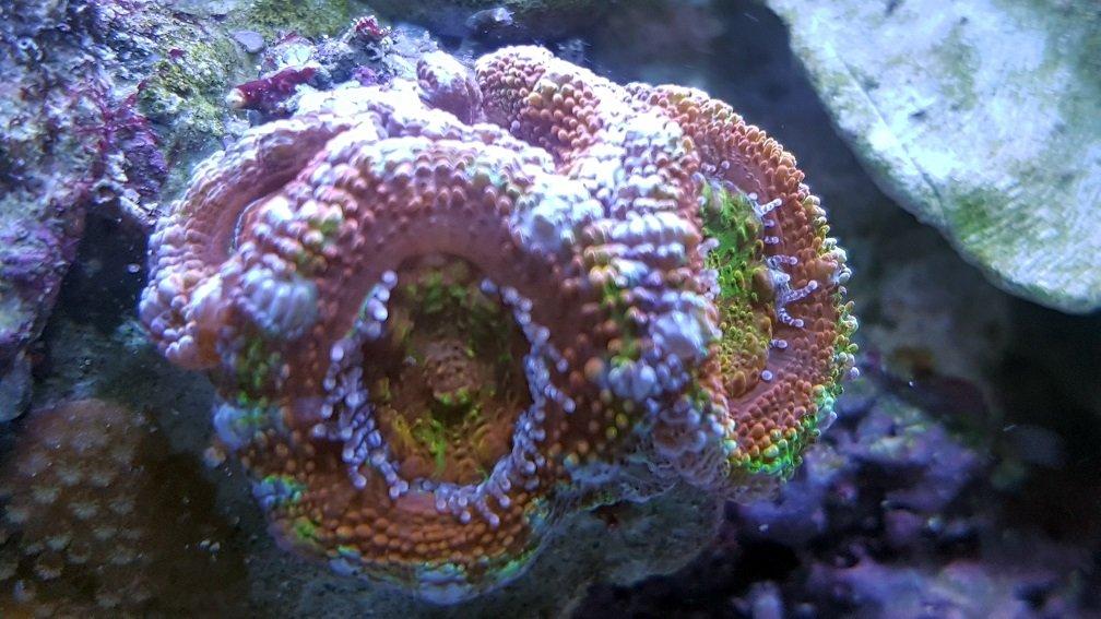 Acanthastrea lordhowensis_Rainbow_2.jpg