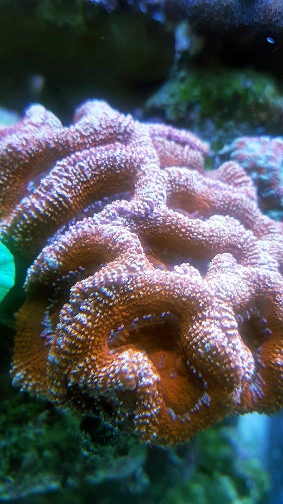 Acanthastrea lordhowensis_Red_2.jpg