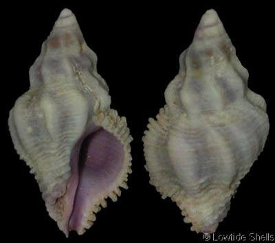 Coralliophila_costularis_1.jpg