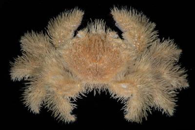 Common_Hairy_Crab.jpg