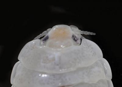 Isopod4.jpg