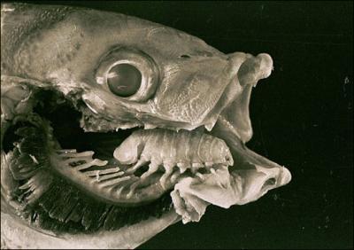 Isopod10.jpg