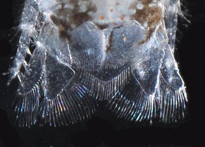 Isopod27.jpg