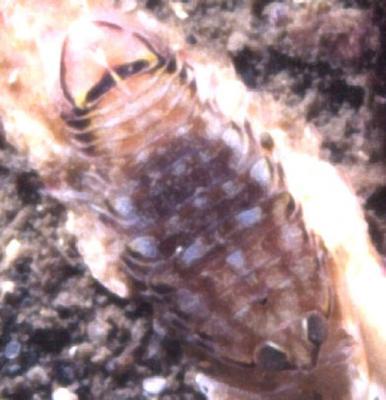 Isopod28.jpg