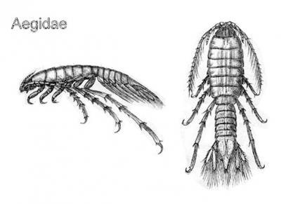 Isopod28_4.jpg