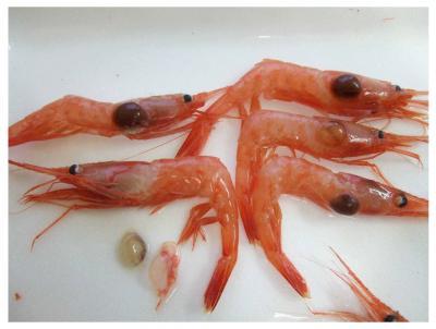 Isopod45.jpg