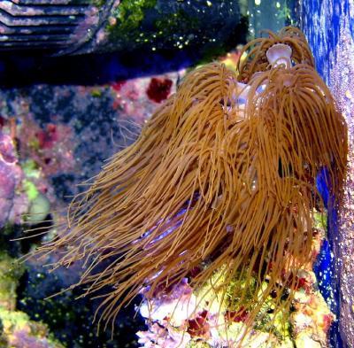 Politoia_zoantidae.jpg